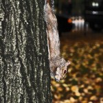 Eichhörnchen im Central Park in New York City