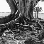Alter Baum am Caloosahatchee River in der Winterresidenz von Henry Ford in Fort Myers (Florida)