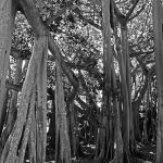 Banyantrees in der Winterresidenz von Thomas Alva Edison in Fort Myers (Florida)