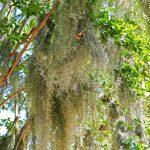 Tillandsien in Amelia Island (Florida)